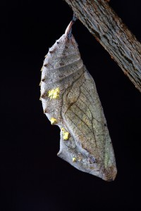 chrysalis_macro_close_up_cocoon_pupa_metamorphosis_transform_cycle-419018